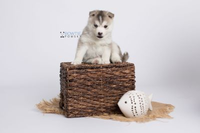 puppy135 week5 BowTiePomsky.com Bowtie Pomsky Puppy For Sale Husky Pomeranian Mini Dog Spokane WA Breeder Blue Eyes Pomskies Celebrity Puppy web-logo6