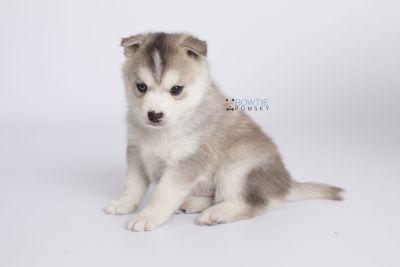 puppy135 week5 BowTiePomsky.com Bowtie Pomsky Puppy For Sale Husky Pomeranian Mini Dog Spokane WA Breeder Blue Eyes Pomskies Celebrity Puppy web-logo7