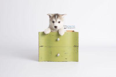 puppy135 week7 BowTiePomsky.com Bowtie Pomsky Puppy For Sale Husky Pomeranian Mini Dog Spokane WA Breeder Blue Eyes Pomskies Celebrity Puppy web2