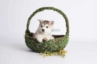 puppy135 week7 BowTiePomsky.com Bowtie Pomsky Puppy For Sale Husky Pomeranian Mini Dog Spokane WA Breeder Blue Eyes Pomskies Celebrity Puppy web5