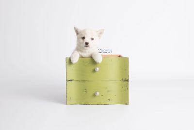 puppy136 week7 BowTiePomsky.com Bowtie Pomsky Puppy For Sale Husky Pomeranian Mini Dog Spokane WA Breeder Blue Eyes Pomskies Celebrity Puppy web3