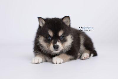 puppy137 week5 BowTiePomsky.com Bowtie Pomsky Puppy For Sale Husky Pomeranian Mini Dog Spokane WA Breeder Blue Eyes Pomskies Celebrity Puppy web-logo7