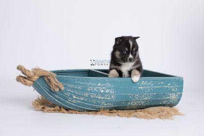puppy138 week5 BowTiePomsky.com Bowtie Pomsky Puppy For Sale Husky Pomeranian Mini Dog Spokane WA Breeder Blue Eyes Pomskies Celebrity Puppy web-logo1