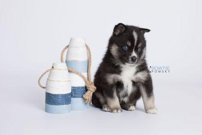 puppy138 week5 BowTiePomsky.com Bowtie Pomsky Puppy For Sale Husky Pomeranian Mini Dog Spokane WA Breeder Blue Eyes Pomskies Celebrity Puppy web-logo2