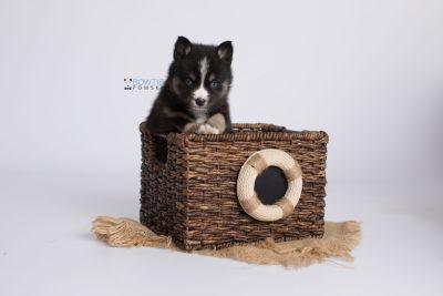 puppy138 week5 BowTiePomsky.com Bowtie Pomsky Puppy For Sale Husky Pomeranian Mini Dog Spokane WA Breeder Blue Eyes Pomskies Celebrity Puppy web-logo3