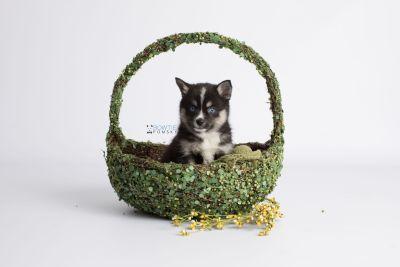 puppy138 week7 BowTiePomsky.com Bowtie Pomsky Puppy For Sale Husky Pomeranian Mini Dog Spokane WA Breeder Blue Eyes Pomskies Celebrity Puppy web6