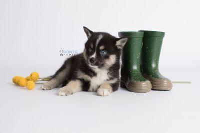 puppy138 week7 BowTiePomsky.com Bowtie Pomsky Puppy For Sale Husky Pomeranian Mini Dog Spokane WA Breeder Blue Eyes Pomskies Celebrity Puppy web7