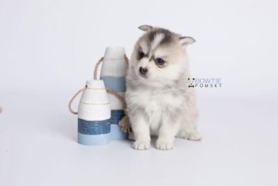 puppy139 week5 BowTiePomsky.com Bowtie Pomsky Puppy For Sale Husky Pomeranian Mini Dog Spokane WA Breeder Blue Eyes Pomskies Celebrity Puppy web-logo2