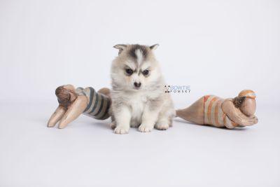 puppy139 week5 BowTiePomsky.com Bowtie Pomsky Puppy For Sale Husky Pomeranian Mini Dog Spokane WA Breeder Blue Eyes Pomskies Celebrity Puppy web-logo4