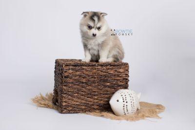 puppy139 week5 BowTiePomsky.com Bowtie Pomsky Puppy For Sale Husky Pomeranian Mini Dog Spokane WA Breeder Blue Eyes Pomskies Celebrity Puppy web-logo5