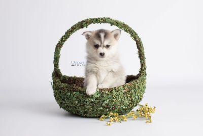 puppy139 week7 BowTiePomsky.com Bowtie Pomsky Puppy For Sale Husky Pomeranian Mini Dog Spokane WA Breeder Blue Eyes Pomskies Celebrity Puppy web5