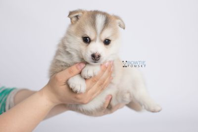 puppy140 week5 BowTiePomsky.com Bowtie Pomsky Puppy For Sale Husky Pomeranian Mini Dog Spokane WA Breeder Blue Eyes Pomskies Celebrity Puppy web-logo10