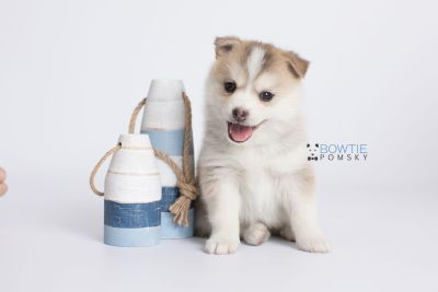 puppy140 week5 BowTiePomsky.com Bowtie Pomsky Puppy For Sale Husky Pomeranian Mini Dog Spokane WA Breeder Blue Eyes Pomskies Celebrity Puppy web-logo3