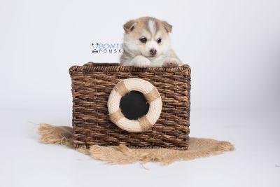 puppy140 week5 BowTiePomsky.com Bowtie Pomsky Puppy For Sale Husky Pomeranian Mini Dog Spokane WA Breeder Blue Eyes Pomskies Celebrity Puppy web-logo4