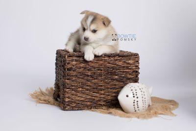 puppy140 week5 BowTiePomsky.com Bowtie Pomsky Puppy For Sale Husky Pomeranian Mini Dog Spokane WA Breeder Blue Eyes Pomskies Celebrity Puppy web-logo6