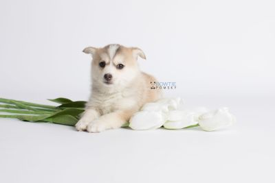 puppy140 week7 BowTiePomsky.com Bowtie Pomsky Puppy For Sale Husky Pomeranian Mini Dog Spokane WA Breeder Blue Eyes Pomskies Celebrity Puppy web3