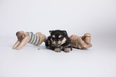 puppy141 week5 BowTiePomsky.com Bowtie Pomsky Puppy For Sale Husky Pomeranian Mini Dog Spokane WA Breeder Blue Eyes Pomskies Celebrity Puppy web-logo4