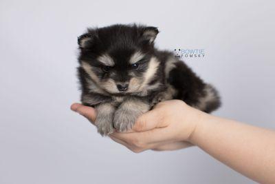 puppy141 week5 BowTiePomsky.com Bowtie Pomsky Puppy For Sale Husky Pomeranian Mini Dog Spokane WA Breeder Blue Eyes Pomskies Celebrity Puppy web-logo7