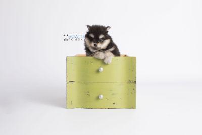 puppy141 week7 BowTiePomsky.com Bowtie Pomsky Puppy For Sale Husky Pomeranian Mini Dog Spokane WA Breeder Blue Eyes Pomskies Celebrity Puppy web2