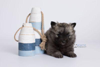 puppy142 week5 BowTiePomsky.com Bowtie Pomsky Puppy For Sale Husky Pomeranian Mini Dog Spokane WA Breeder Blue Eyes Pomskies Celebrity Puppy web-logo2