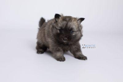 puppy142 week5 BowTiePomsky.com Bowtie Pomsky Puppy For Sale Husky Pomeranian Mini Dog Spokane WA Breeder Blue Eyes Pomskies Celebrity Puppy web-logo6
