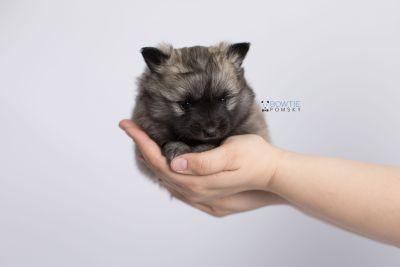 puppy142 week5 BowTiePomsky.com Bowtie Pomsky Puppy For Sale Husky Pomeranian Mini Dog Spokane WA Breeder Blue Eyes Pomskies Celebrity Puppy web-logo7