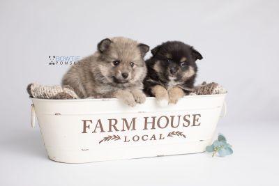 puppy143-144 week5 BowTiePomsky.com Bowtie Pomsky Puppy For Sale Husky Pomeranian Mini Dog Spokane WA Breeder Blue Eyes Pomskies Celebrity Puppy web2