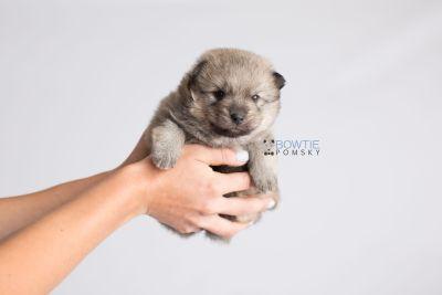 puppy143 week3 BowTiePomsky.com Bowtie Pomsky Puppy For Sale Husky Pomeranian Mini Dog Spokane WA Breeder Blue Eyes Pomskies Celebrity Puppy web7