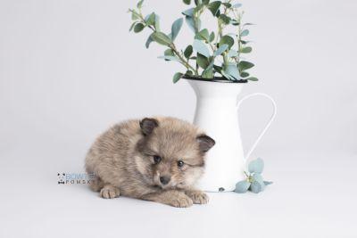 puppy143 week5 BowTiePomsky.com Bowtie Pomsky Puppy For Sale Husky Pomeranian Mini Dog Spokane WA Breeder Blue Eyes Pomskies Celebrity Puppy web1