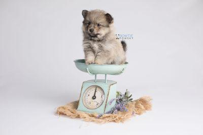 puppy143 week5 BowTiePomsky.com Bowtie Pomsky Puppy For Sale Husky Pomeranian Mini Dog Spokane WA Breeder Blue Eyes Pomskies Celebrity Puppy web2