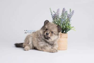 puppy143 week5 BowTiePomsky.com Bowtie Pomsky Puppy For Sale Husky Pomeranian Mini Dog Spokane WA Breeder Blue Eyes Pomskies Celebrity Puppy web5