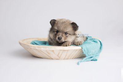 puppy143 week5 BowTiePomsky.com Bowtie Pomsky Puppy For Sale Husky Pomeranian Mini Dog Spokane WA Breeder Blue Eyes Pomskies Celebrity Puppy web6