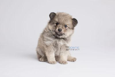 puppy143 week5 BowTiePomsky.com Bowtie Pomsky Puppy For Sale Husky Pomeranian Mini Dog Spokane WA Breeder Blue Eyes Pomskies Celebrity Puppy web7