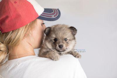 puppy143 week5 BowTiePomsky.com Bowtie Pomsky Puppy For Sale Husky Pomeranian Mini Dog Spokane WA Breeder Blue Eyes Pomskies Celebrity Puppy web8