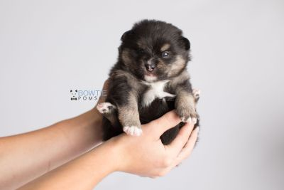 puppy144 week3 BowTiePomsky.com Bowtie Pomsky Puppy For Sale Husky Pomeranian Mini Dog Spokane WA Breeder Blue Eyes Pomskies Celebrity Puppy web8