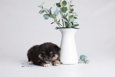 puppy144 week5 BowTiePomsky.com Bowtie Pomsky Puppy For Sale Husky Pomeranian Mini Dog Spokane WA Breeder Blue Eyes Pomskies Celebrity Puppy web1