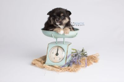 puppy144 week5 BowTiePomsky.com Bowtie Pomsky Puppy For Sale Husky Pomeranian Mini Dog Spokane WA Breeder Blue Eyes Pomskies Celebrity Puppy web3