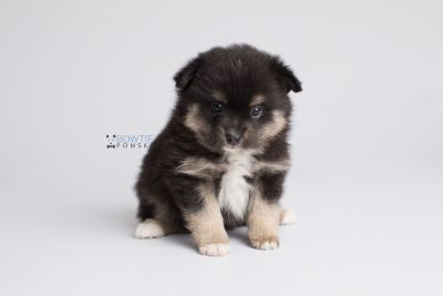 puppy144 week5 BowTiePomsky.com Bowtie Pomsky Puppy For Sale Husky Pomeranian Mini Dog Spokane WA Breeder Blue Eyes Pomskies Celebrity Puppy web7