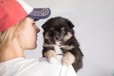 puppy144 week5 BowTiePomsky.com Bowtie Pomsky Puppy For Sale Husky Pomeranian Mini Dog Spokane WA Breeder Blue Eyes Pomskies Celebrity Puppy web8