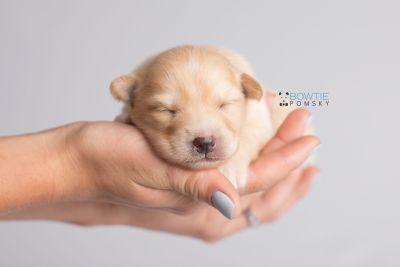puppy145 week1 BowTiePomsky.com Bowtie Pomsky Puppy For Sale Husky Pomeranian Mini Dog Spokane WA Breeder Blue Eyes Pomskies Celebrity Puppy web8