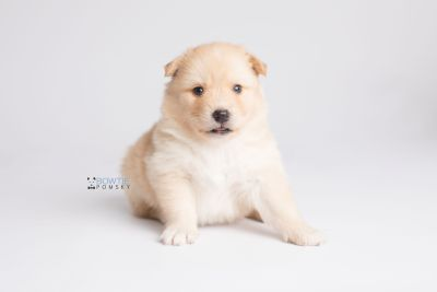 puppy145 week3 BowTiePomsky.com Bowtie Pomsky Puppy For Sale Husky Pomeranian Mini Dog Spokane WA Breeder Blue Eyes Pomskies Celebrity Puppy web6