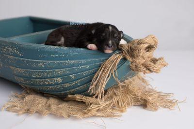 puppy146 week1 BowTiePomsky.com Bowtie Pomsky Puppy For Sale Husky Pomeranian Mini Dog Spokane WA Breeder Blue Eyes Pomskies Celebrity Puppy web1