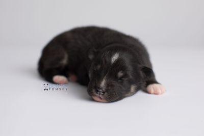 puppy146 week1 BowTiePomsky.com Bowtie Pomsky Puppy For Sale Husky Pomeranian Mini Dog Spokane WA Breeder Blue Eyes Pomskies Celebrity Puppy web7