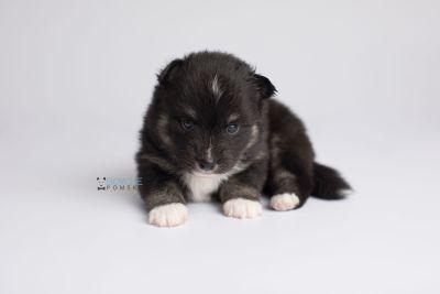 puppy146 week3 BowTiePomsky.com Bowtie Pomsky Puppy For Sale Husky Pomeranian Mini Dog Spokane WA Breeder Blue Eyes Pomskies Celebrity Puppy web6