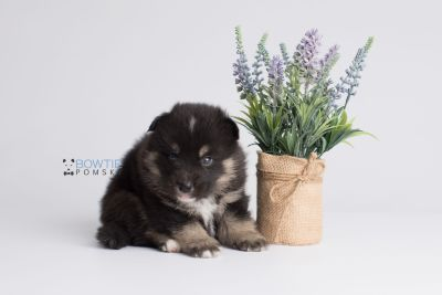 puppy147 week3 BowTiePomsky.com Bowtie Pomsky Puppy For Sale Husky Pomeranian Mini Dog Spokane WA Breeder Blue Eyes Pomskies Celebrity Puppy web3