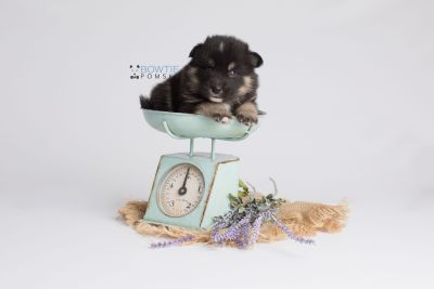 puppy147 week3 BowTiePomsky.com Bowtie Pomsky Puppy For Sale Husky Pomeranian Mini Dog Spokane WA Breeder Blue Eyes Pomskies Celebrity Puppy web4