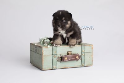 puppy147 week3 BowTiePomsky.com Bowtie Pomsky Puppy For Sale Husky Pomeranian Mini Dog Spokane WA Breeder Blue Eyes Pomskies Celebrity Puppy web5