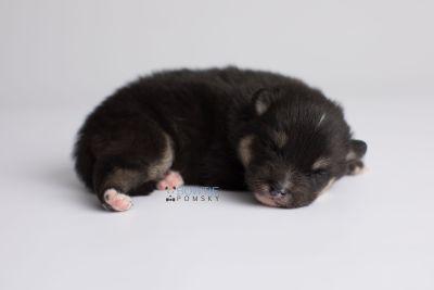 puppy148 week1 BowTiePomsky.com Bowtie Pomsky Puppy For Sale Husky Pomeranian Mini Dog Spokane WA Breeder Blue Eyes Pomskies Celebrity Puppy web5