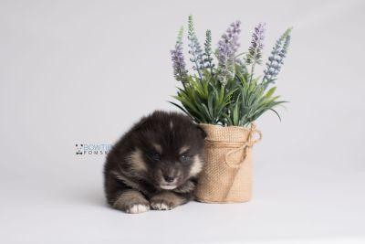 puppy148 week3 BowTiePomsky.com Bowtie Pomsky Puppy For Sale Husky Pomeranian Mini Dog Spokane WA Breeder Blue Eyes Pomskies Celebrity Puppy web3