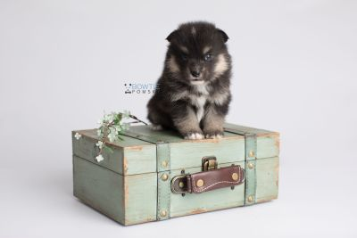 puppy148 week3 BowTiePomsky.com Bowtie Pomsky Puppy For Sale Husky Pomeranian Mini Dog Spokane WA Breeder Blue Eyes Pomskies Celebrity Puppy web5
